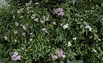 blühender Japanischer Spierstrauch, Spiraea japonica