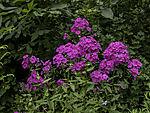 blühende Rispige Flammenblume, Phlox paniculata
