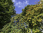Vogelbeerbaum mit Beeren, Sorbus aucuparia