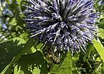 Honigbiene an blauer Blüte, Apis mellifera