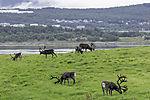Reindeer on pasture, Rangifer tarandus