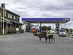Reindeer on gas station, Rangifer tarandus