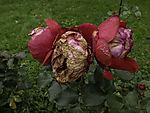 verblühte rote Rosen