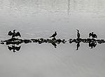 Kormorane auf der Alster, Phalacrocorax carbo