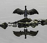 Kormoran trocknet Federn Spiegelung, Phalacrocorax carbo