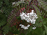 Weißfrüchtige Vogelbeere, Sorbus koehneana