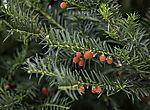 Jew Tree with berries; Taxus sp.