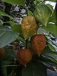 Wild Bladder Cherry, Alkekengi officinarum