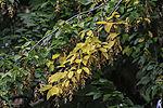 European Hornbeam leaves in autumn; Carpinus betulus