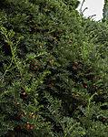 Eibe mit Beeren; Taxus sp.