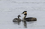 Great Crested Grebe with chick in autumn, Podiceps cristatus