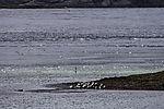 Seagulls in Rystraumen richness in fish