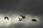 Greylag Geese in flight, Anser anser
