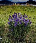 blühender Blauer Eisenhut auf Hillesöya, Aconitum napellus