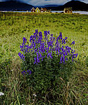 flowering Monkhood on island Hillesöya, Aconitum napellus
