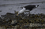 Great Black-backed Gull looking for food, Larus marinus