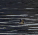 juvenile Seagull in flight over water, Larus sp.