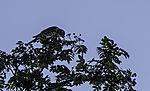 Wacholderdrossel in Eberesche, Sorbus aucuparia