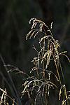 Grass spikes in morning light