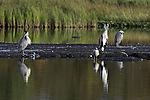 Grey Herons at lake Prestvannet, Ardea cinerea