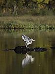 Grey Heron at lake Prestvannet, Ardea cinerea
