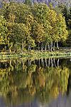autumnal Birch trees at lake Prestvannet, Betula sp.