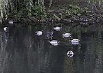 Stockenten Erpel auf Teich, Anas platyrhynchos