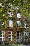 Wilder Wein im Herbst, Parthenocissus tricuspidata