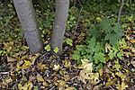 junger grüner Ahorn im gelben Herbstlaub, Acer sp.