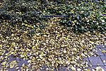 gelbe Herbstblätter liegen auf Fußweg