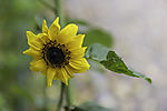 Sonnenblume im Herbst, Helianthus sp.