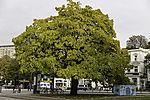 Trompetenbaum in Hamburg, Catalpa speciosa